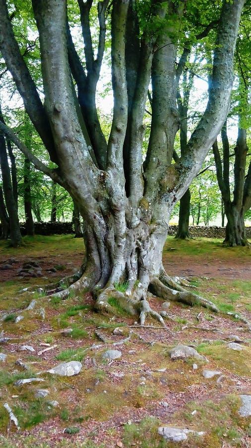 Gnarled stary drzewo w antycznym Szkockim miejscu zdjęcia royalty free