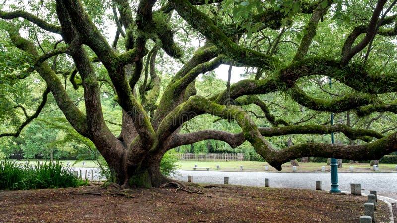 Gnarled Tree stock photography