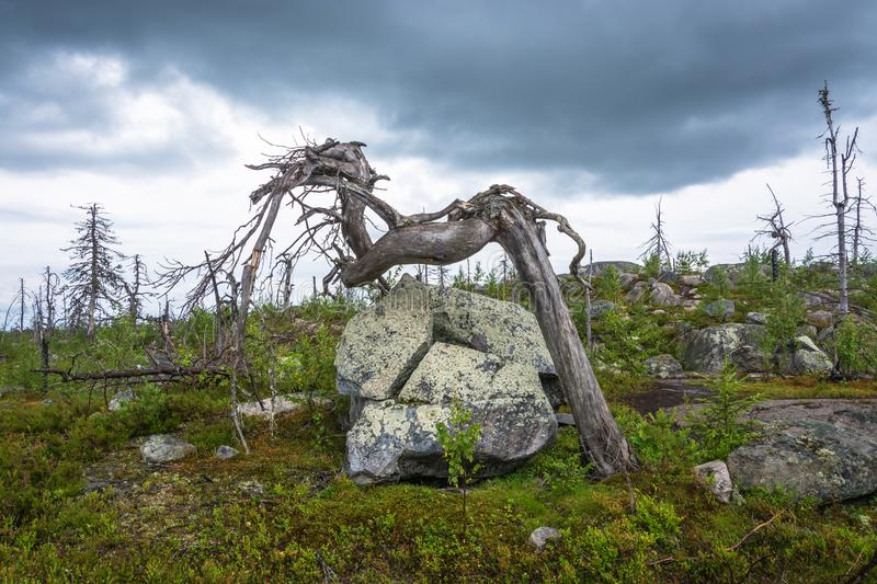 Gnarled tree on the mountain Vottovaara. Dry gnarled tree on the mountain Vottovaara, Karelia, Russia royalty free stock photo