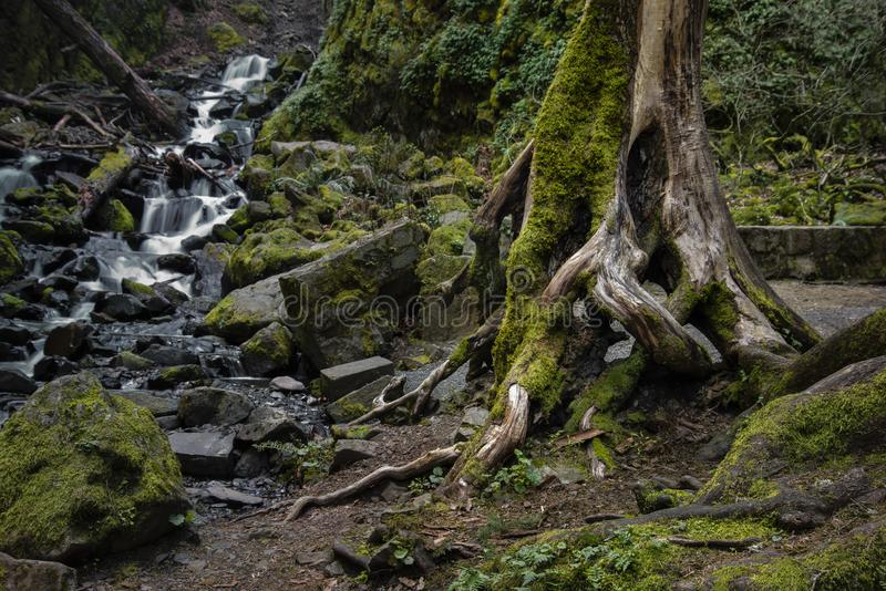 Gnarled tree next to creek royalty free stock images