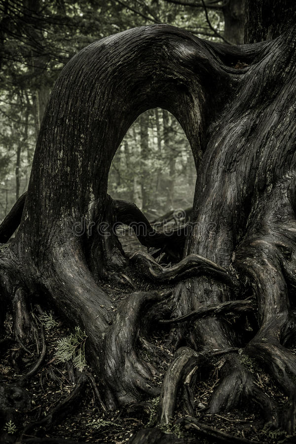 Free Gnarled Tree Roots Royalty Free Stock Images - 76860329