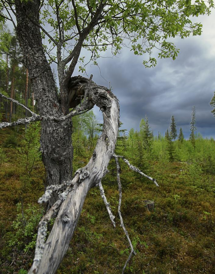 Gnarled wierzby i zmroku chmury w Brannberget Naturreservat w Północnym Szwecja fotografia stock
