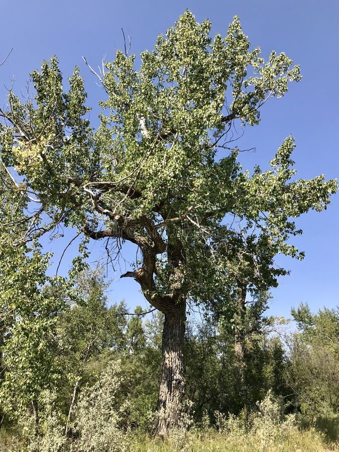 Gnarly Baum entlang Highwood-Fluss-Spuren, Süd-Alberta, Kanada stockfoto