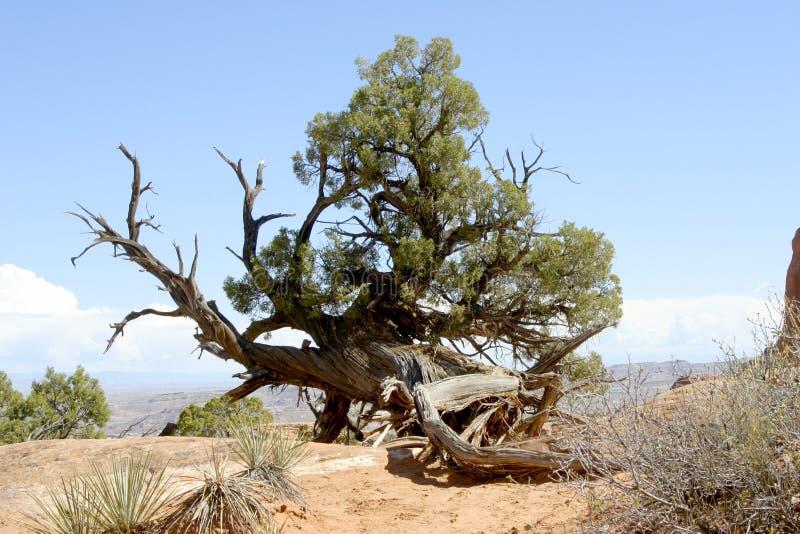 Gnarly Cedar Tree lizenzfreie stockfotos