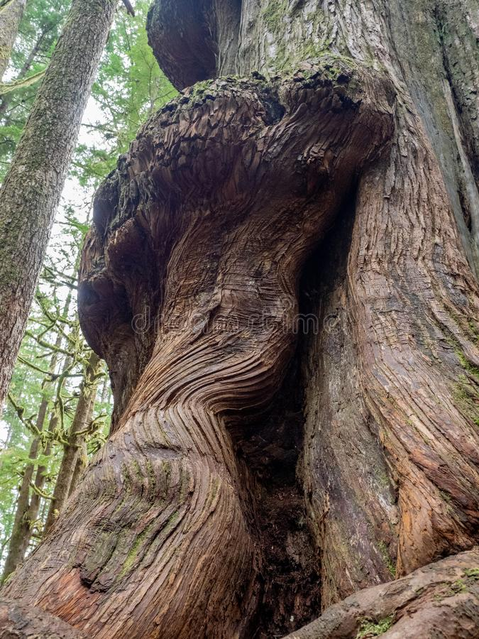 Gnarly cedar tree trunks. Giant cedar trees have gnarly trunks in the Avatar Grove at Port Renfrew on Vancouver Island, British Columbia royalty free stock images