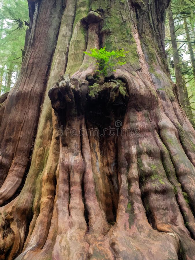 Gnarly cedar tree trunks. Giant cedar trees have gnarly trunks in the Avatar Grove at Port Renfrew on Vancouver Island, British Columbia royalty free stock photo