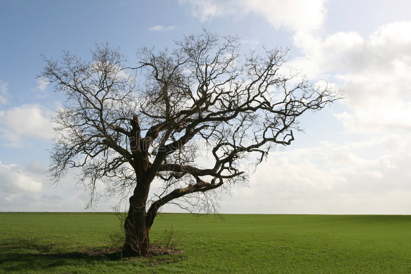 Gnarly old tree. Isolated in the countryside stock photos