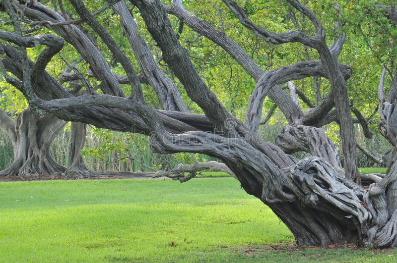 Gnarly old tree. Twisted branches of tree stretch out over green grass, creating contrast of the old and new. Plenty of room for adding print on the open field royalty free stock photos