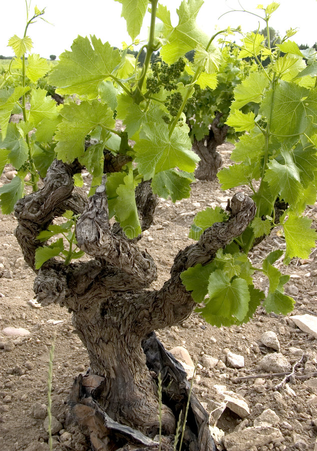 Free Gnarly Old Vine Stock Photo - 2836280