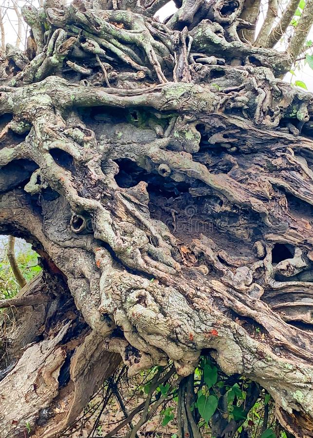 Gnarly roots on uprooted tree. Exposed roots on an uprooted stock images