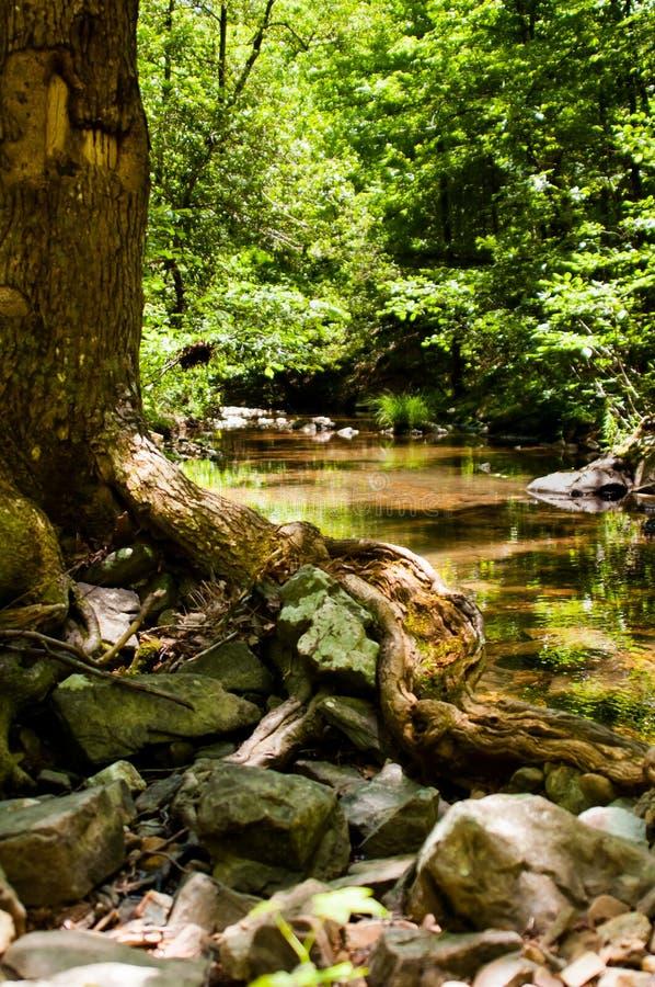 Gnarly träd bredvid en ström royaltyfria foton