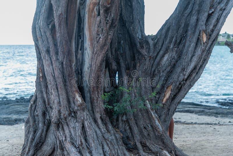 Gnarly träd med ett hål i det på stranden på den stora ön av Hawaii royaltyfria foton