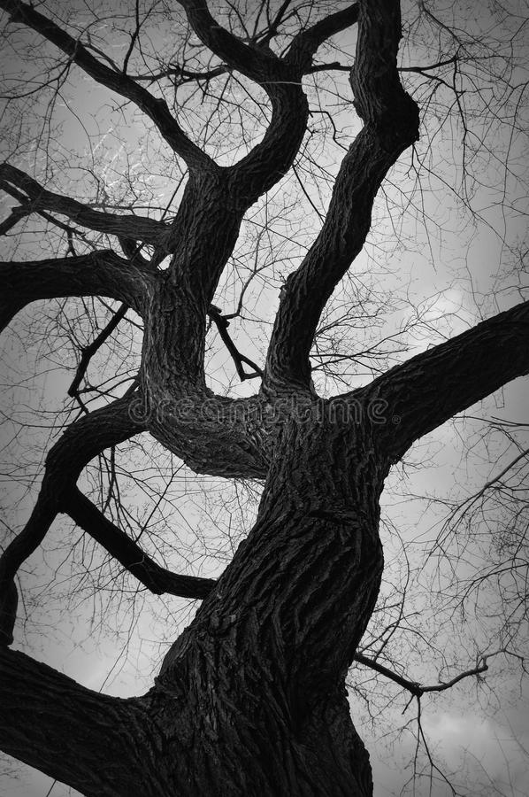 Gnarly Tree. A gnarly tree against a gray sky. Black and white photograph stock image