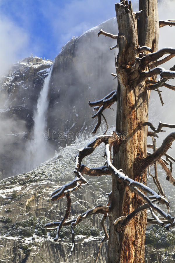 Free Gnarly Tree And Upper Yosemite Falls Royalty Free Stock Images - 19832009