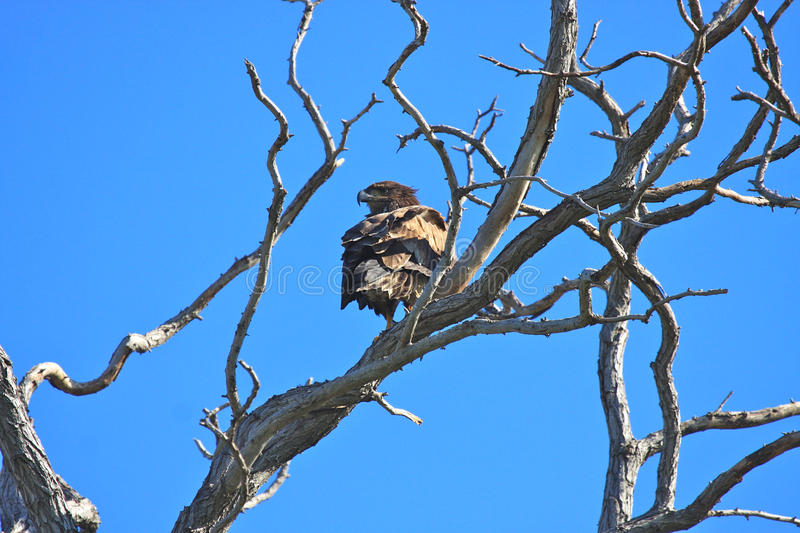 Gnarly Tree Branches with an Eagle. Gnarly branches on a weathered dead tree with an immature Bald Eagle against a blue sky form a concept of young and old royalty free stock photos
