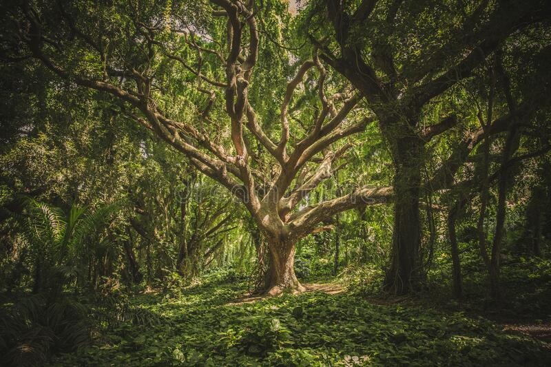 Gnarly tree in forest, Hawaii stock photos