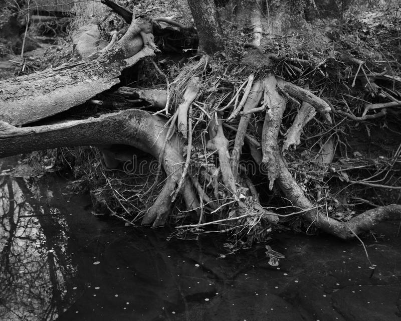 Twisted Tree Roots in River. Black and white image of twisted tree roots and trunk in river in North Carolina royalty free stock photos