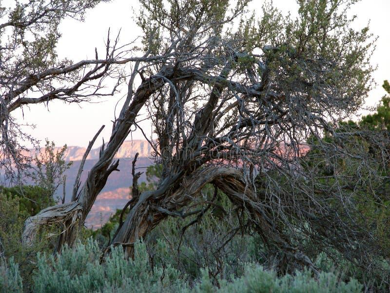 Gnarlybomen in de Hoge Woestijn royalty-vrije stock foto's