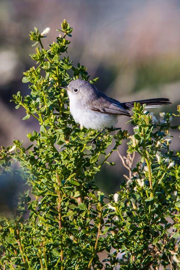 gnatcatcher Azul-cinzento imagem de stock royalty free