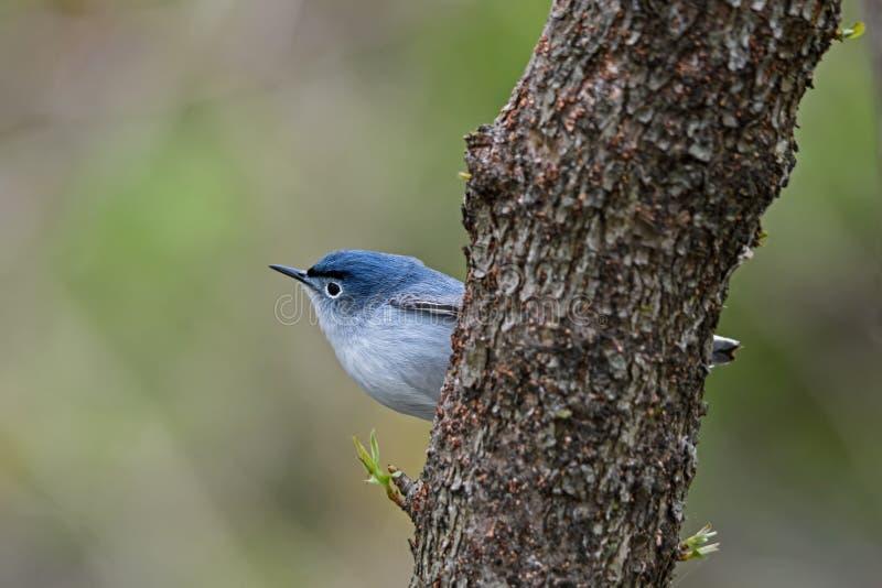 gnatcatcher ou caerulea Azul-cinzento do Polioptila imagens de stock royalty free