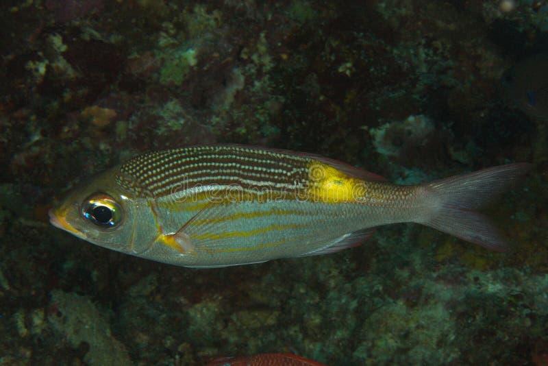 Gnathodentex aurolineatus - Fusilier fish stock photos
