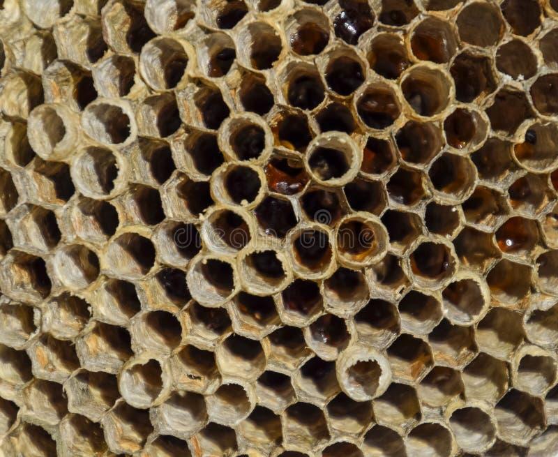 Gniazdeczko jest osikowy przy końcówką lęgowy sezon, polist osikowy gniazdeczko Zapasy miód w honeycombs Osikowy miód Vespa fotografia stock