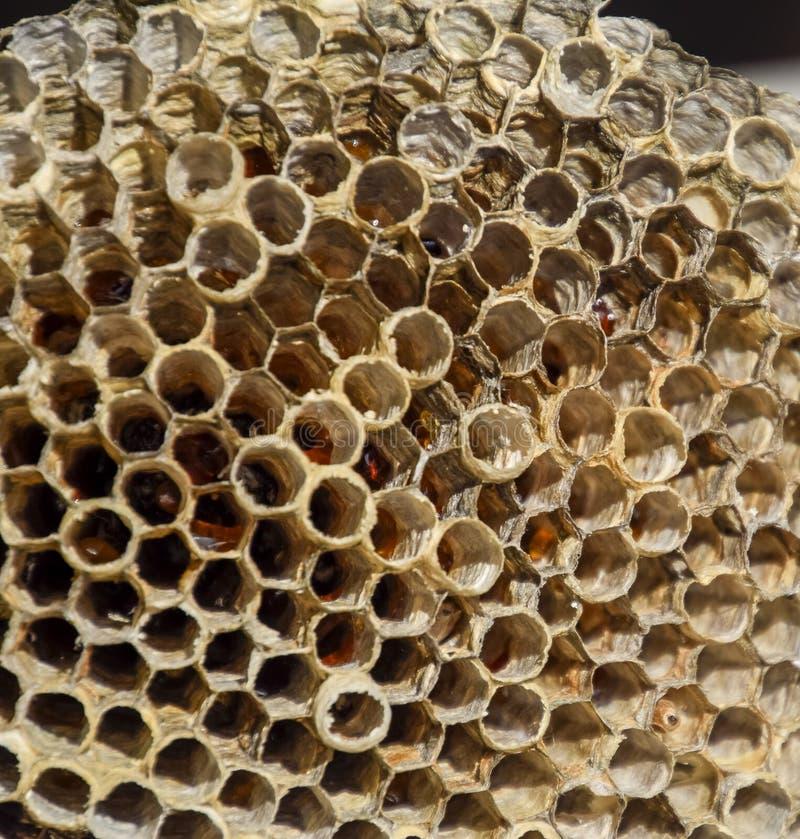 Gniazdeczko jest osikowy przy końcówką lęgowy sezon, polist osikowy gniazdeczko Zapasy miód w honeycombs Osikowy miód Vespa fotografia royalty free