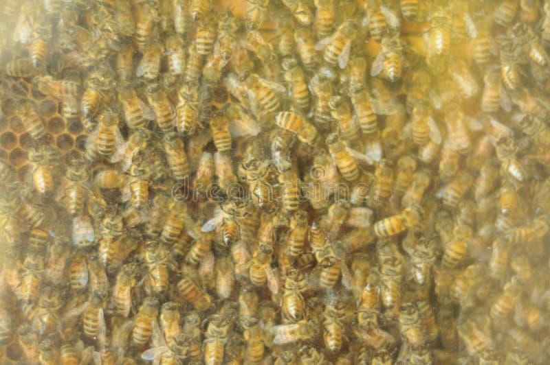 gniazdeczko pszczoły obrazy royalty free