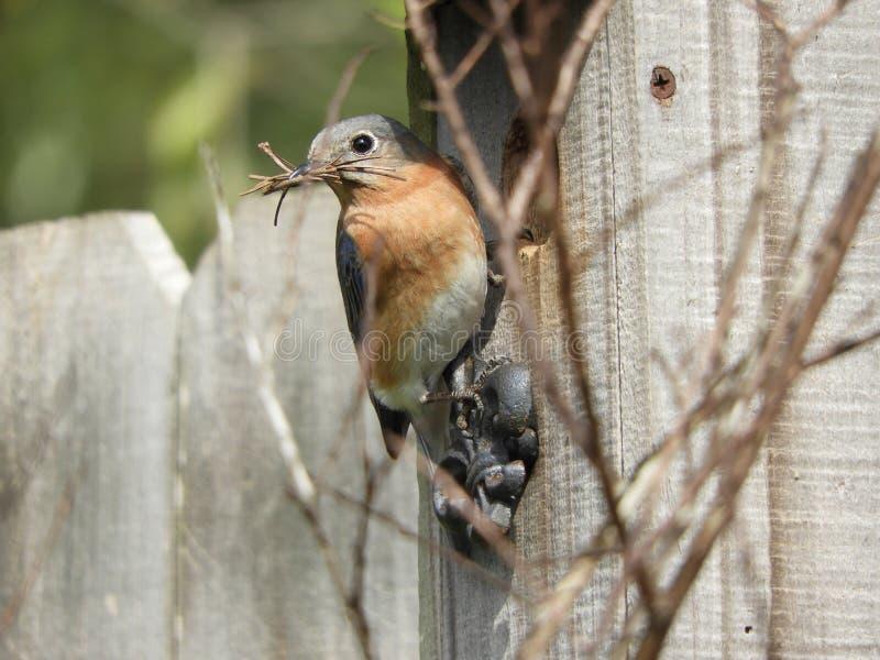Gniazdować Bluebird obraz royalty free