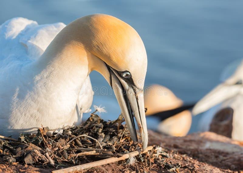 Gniazdować Północnego gannet przy falezami wyspa Helgoland, Niemcy zdjęcie royalty free