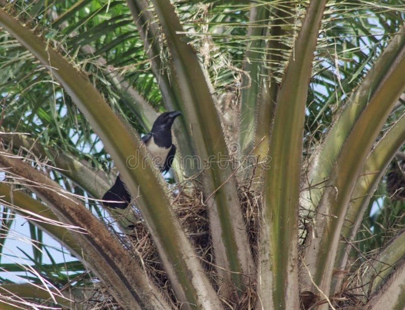 Gniazdować sroki na drzewku palmowym obraz royalty free