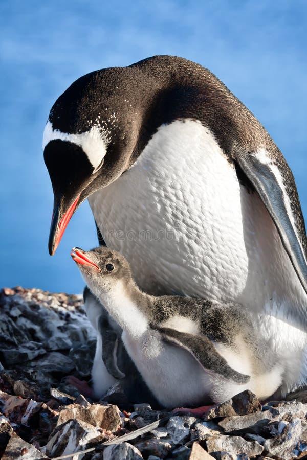 gniazdowi pingwiny obrazy royalty free