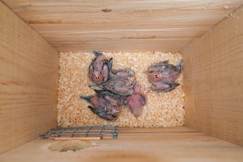 Gniazdowy pudełkowaty wnętrze z dziecko papugami w nim zdjęcia stock