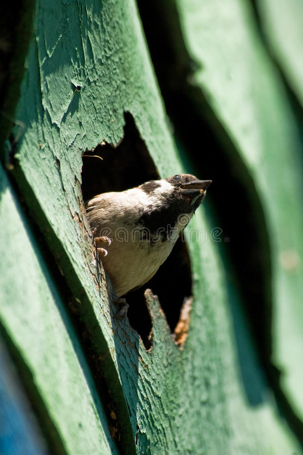 gniazdowy wróbel zdjęcie royalty free