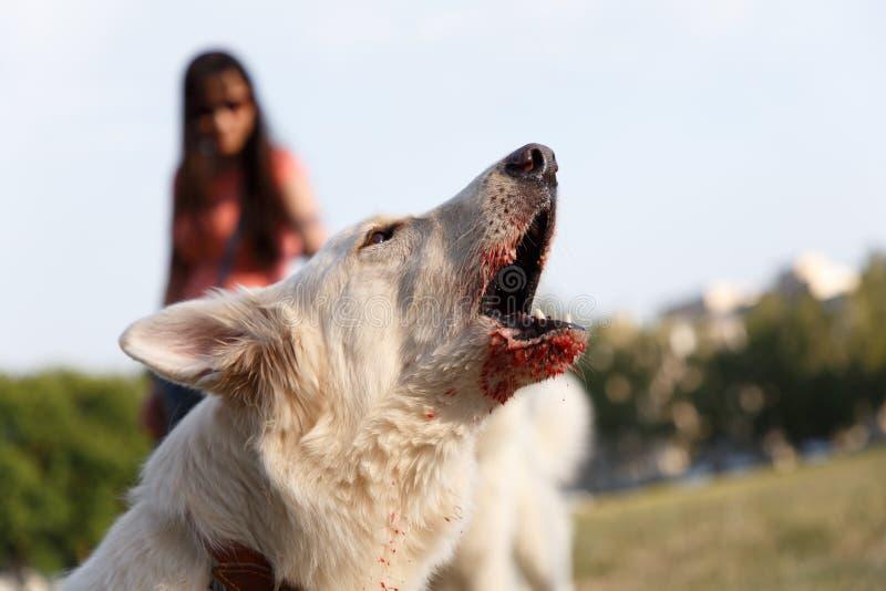 Gniewny agresywny szczekliwy szwajcarski pasterski pies obrazy stock