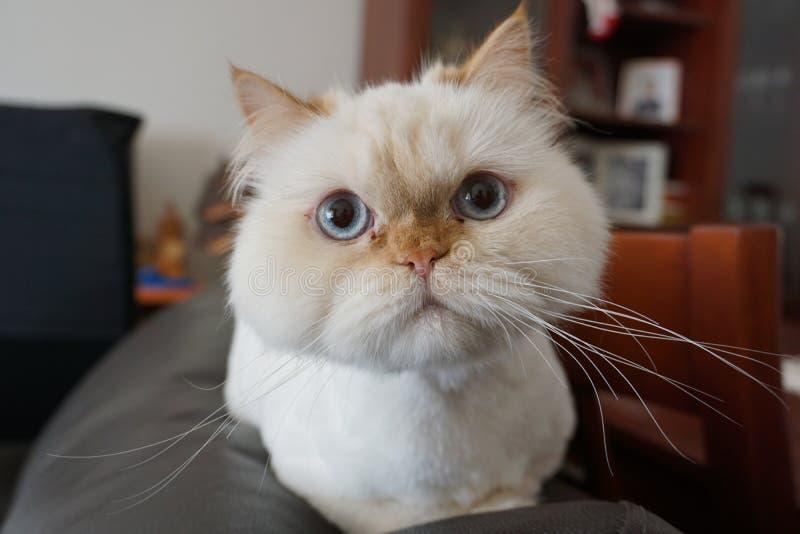 Gniewny biały perski kot pozuje dla kamery obraz royalty free