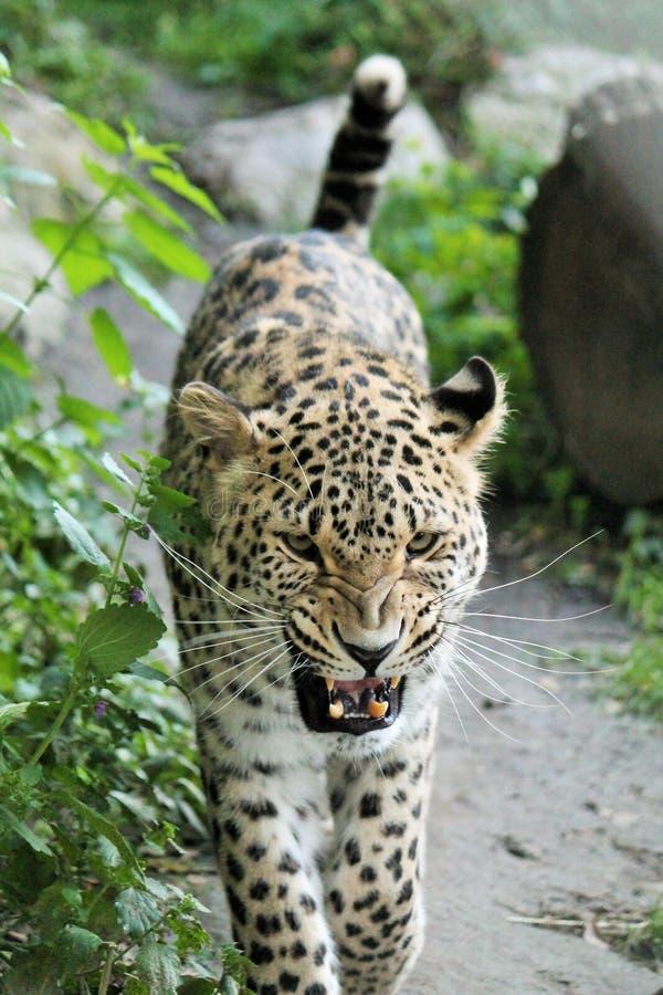 Gniewny lamparta przedstawienie jego zęby zdjęcia royalty free