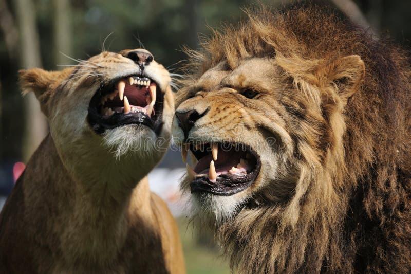 gniewny lew fotografia royalty free