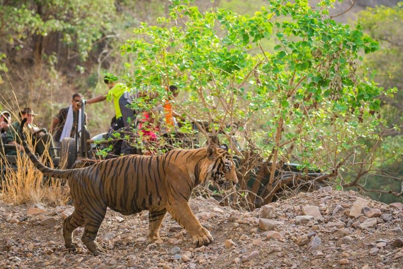 gniewny męski tygrys i gypsy ładował w plecy przy ranthambore parkiem narodowym zdjęcie royalty free