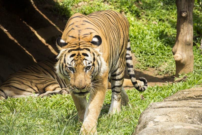 Gniewny malayan tygrysi odprowadzenie zdjęcie stock