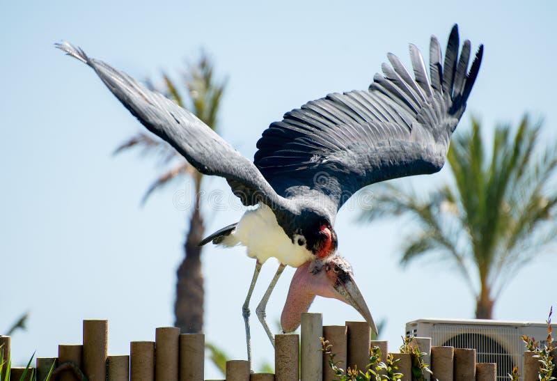 Gniewny marabut zdjęcie stock