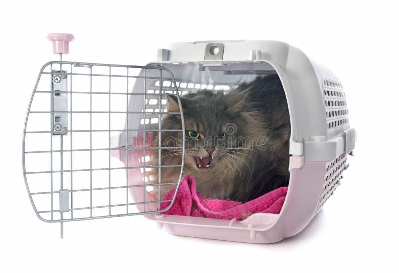 Gniewny perski kot obrazy royalty free