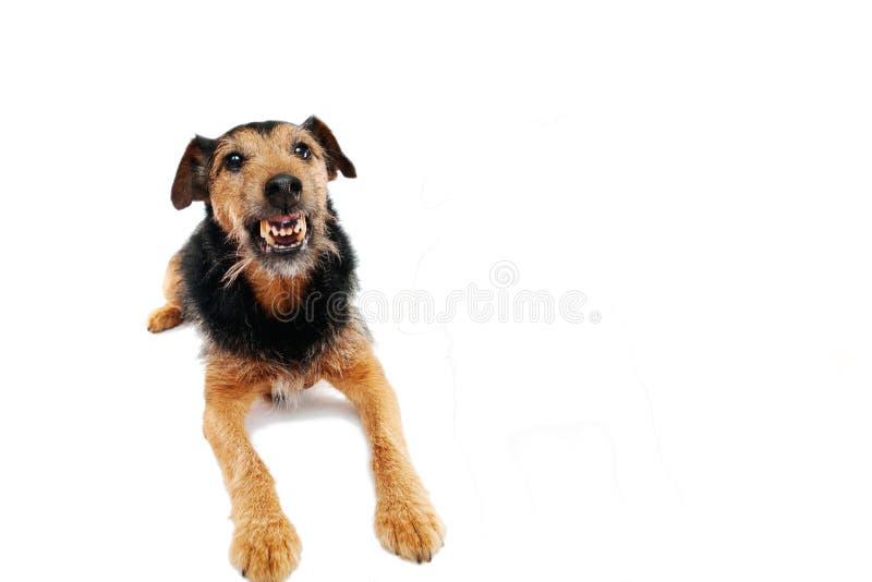 gniewny pies fotografia royalty free