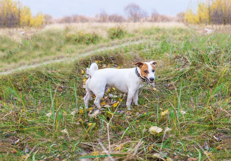 Gniewny pies Mały pies patrzeje agresywnym i niebezpiecznym fotografia royalty free