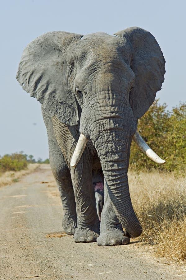 gniewny słoń obraz stock
