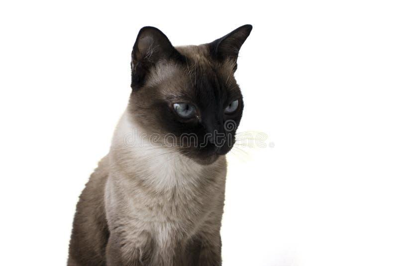 Gniewny siamese kot z though patrzeje zdjęcia royalty free