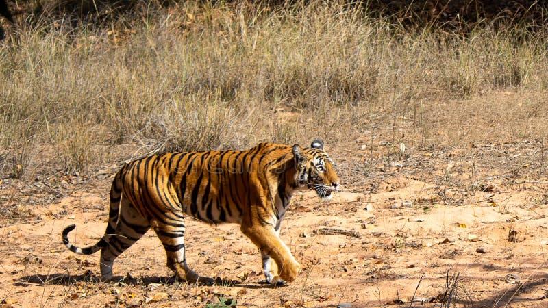 Gniewny tygrys w lesie zdjęcia stock