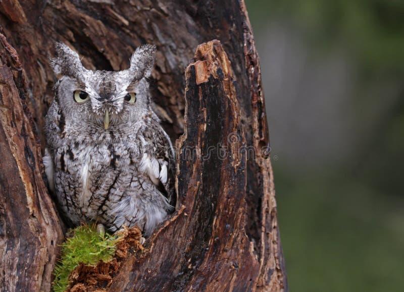 Gnissel Owl Looking från stubbe royaltyfri fotografi