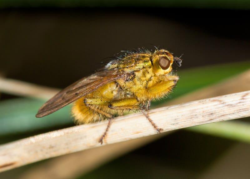 gnojowy komarnicy scathophaga stercoraria kolor żółty zdjęcie royalty free