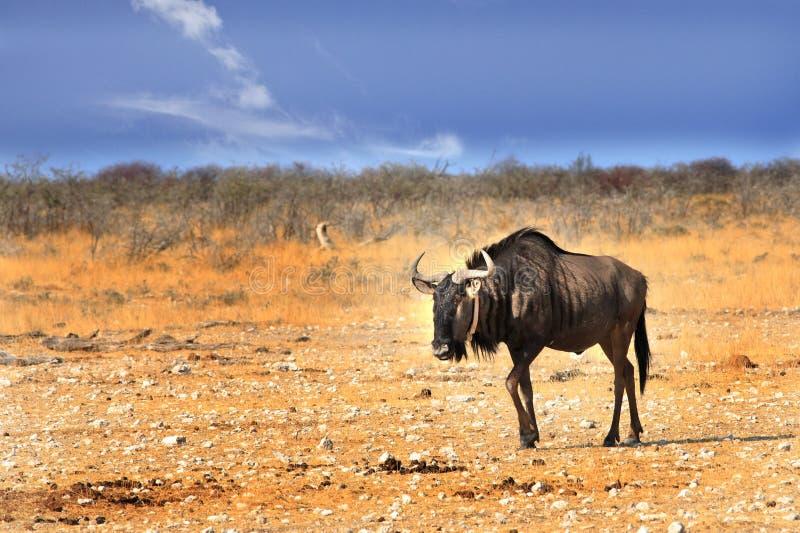 Gnou bleu d'isolement marchant à travers la casserole d'Etosha en Namibie, Afrique méridionale images libres de droits